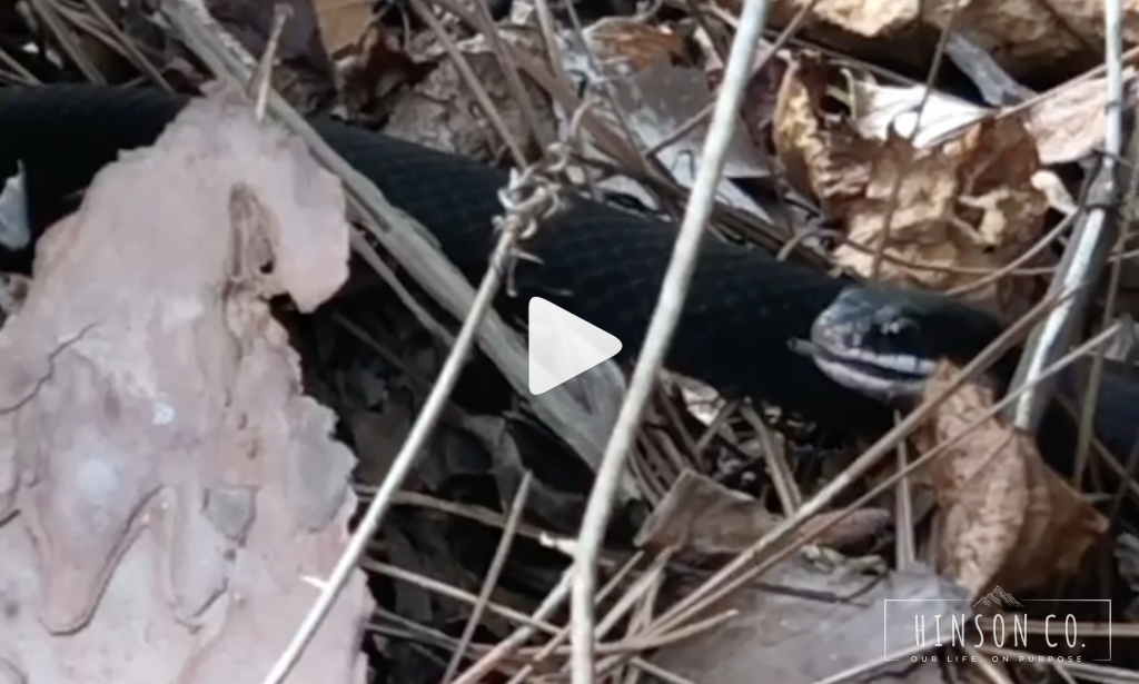 Hannah_got_video_of_this_black_snake_eating_a_lizard__So_cool_and_creepy_at_the_same_time______–_Hinson_Co_
