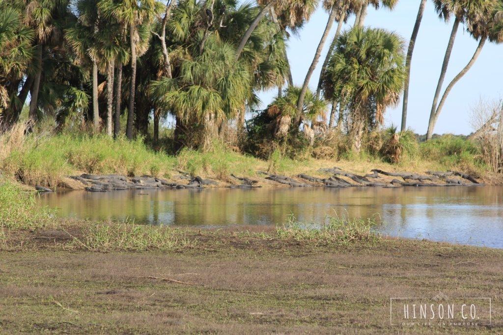 Alligators sunning at Deep Hole